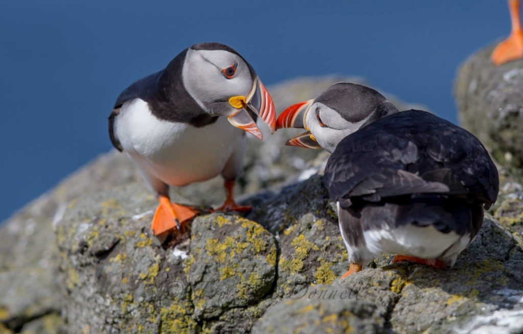 BLOG - go-and-see-the-tom-puffin-on-rathlin-island