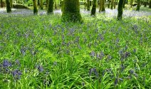 Knockmany Wood Bluebells