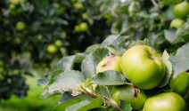 Armagh Bramley Apples are used to make Digby's Armagh Bramley Apple Pie