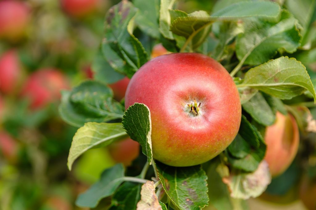 Apples in the orchard county - the launch of the Richhill Apple Harvest Fayre